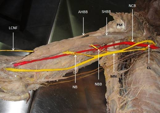 musculocutaneous and median nerves